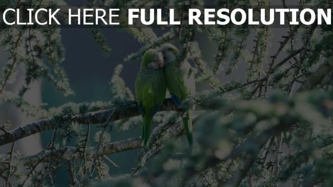 hd hintergrundbilder zärtlichkeit paar zweig papageien