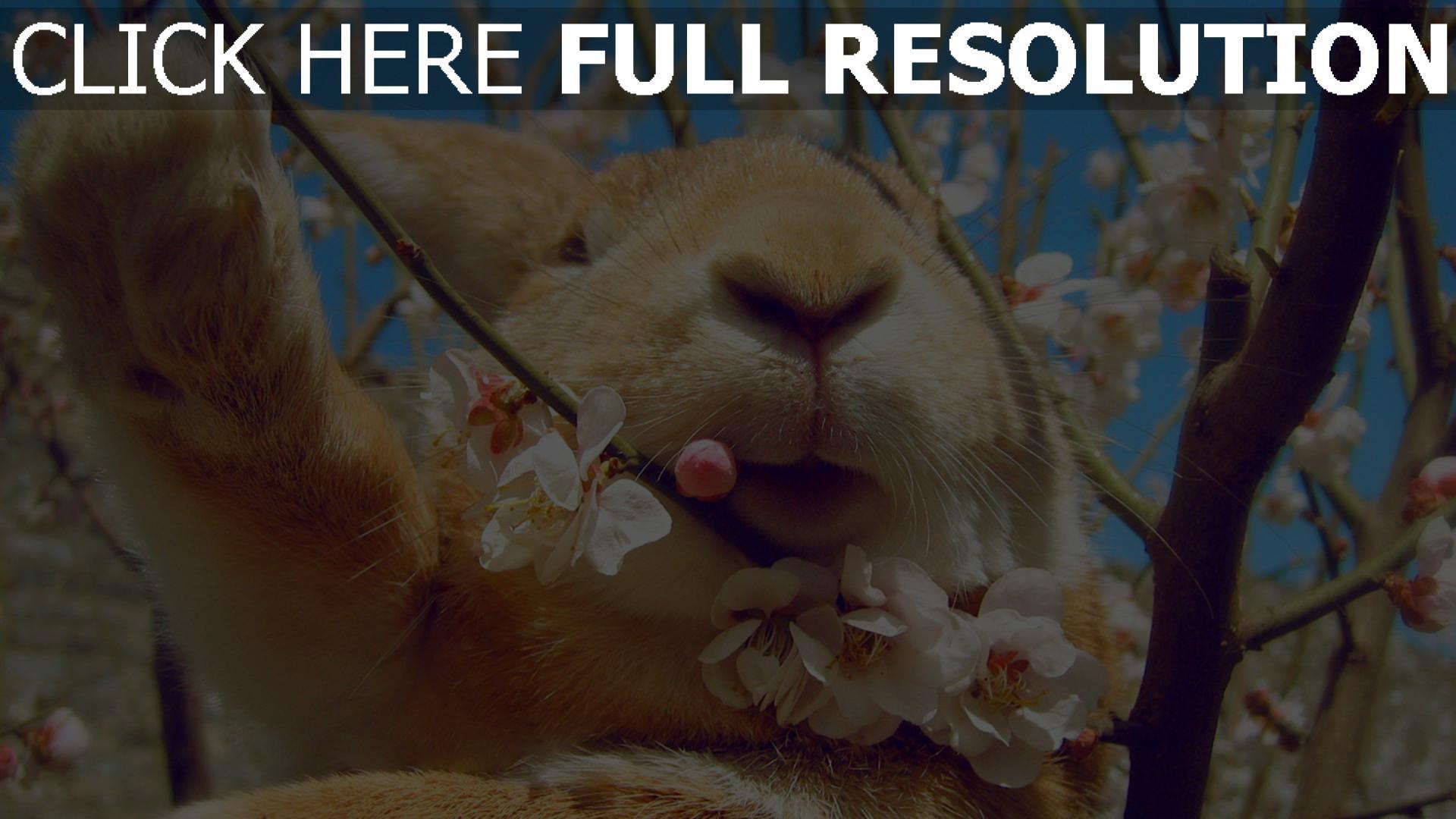 Hd Hintergrundbilder Frühling Gesicht Blumen Kaninchen Desktop