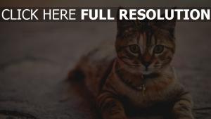 zu hause kragen liegend katze
