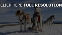 schnee dampf hund huskys alaska