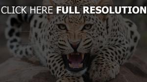 grinsen aggression maulkorb leopard