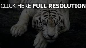 schnauze albino liegen tiger