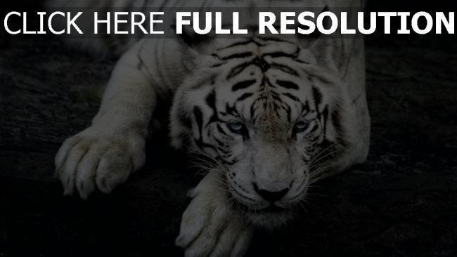 hd hintergrundbilder schnauze albino liegen tiger