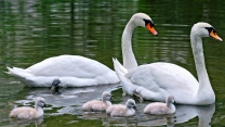 junge schwimmen vogel schwäne