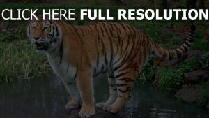 wasser tiger felsen gras