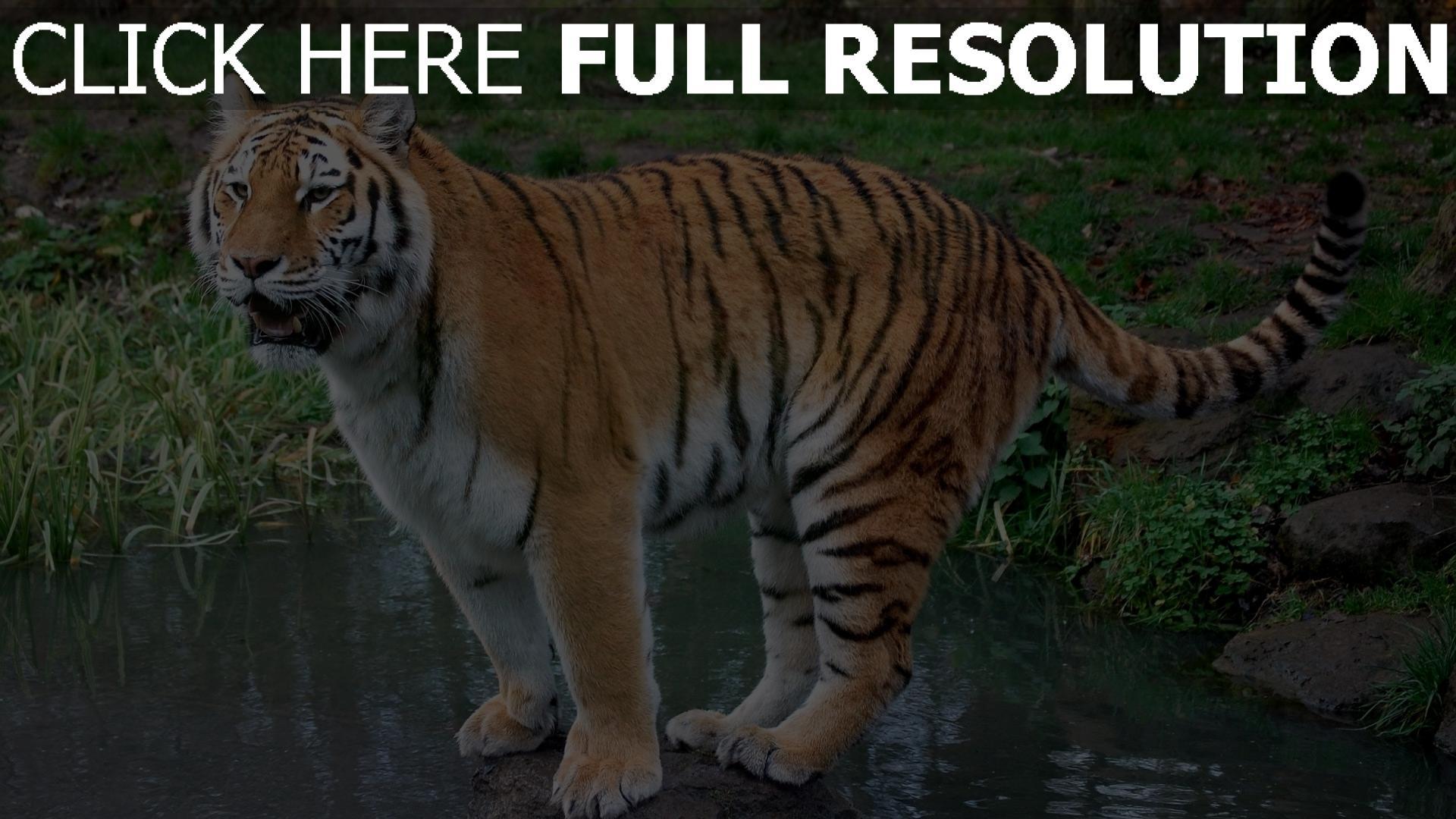 hd hintergrundbilder wasser tiger felsen gras 1920x1080