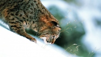 piste schnee winter gras luchs