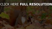 herbst gras laub eichhörnchen sitzend pelzig schwanz