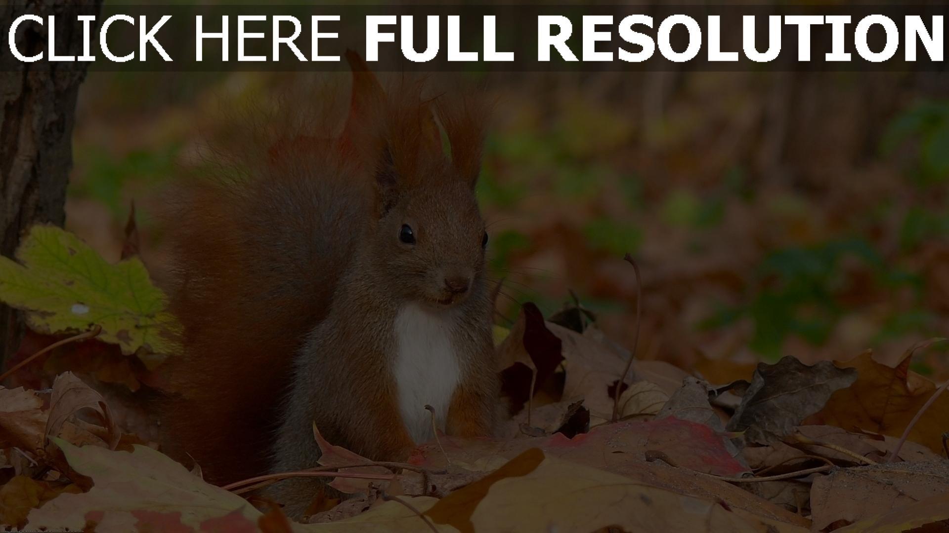 hd hintergrundbilder herbst gras laub eichhörnchen sitzend pelzig schwanz 1920x1080