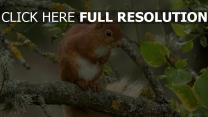 tier rot zweig eichhörnchen
