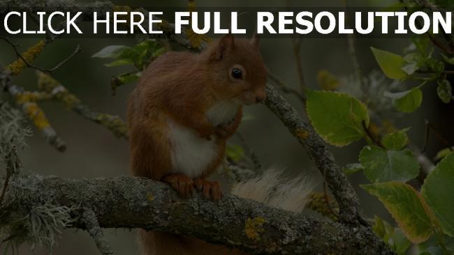 hd hintergrundbilder tier rot zweig eichhörnchen