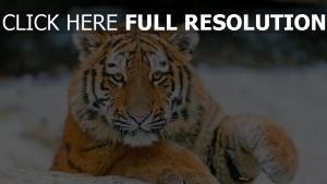 baby gestreifte raubtier tiger