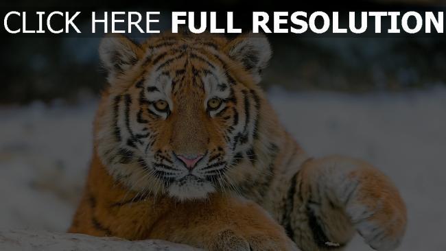 hd hintergrundbilder baby gestreifte raubtier tiger