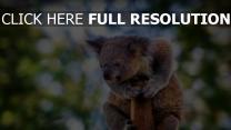 baum verschwimmen tier koala sitzen