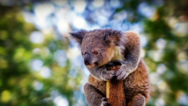 hd hintergrundbilder baum verschwimmen tier koala sitzen
