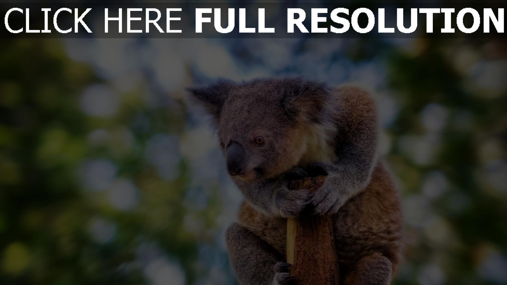 hd hintergrundbilder baum verschwimmen tier koala sitzen 1920x1080