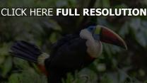 federn vogel schnabel toucan dickichte