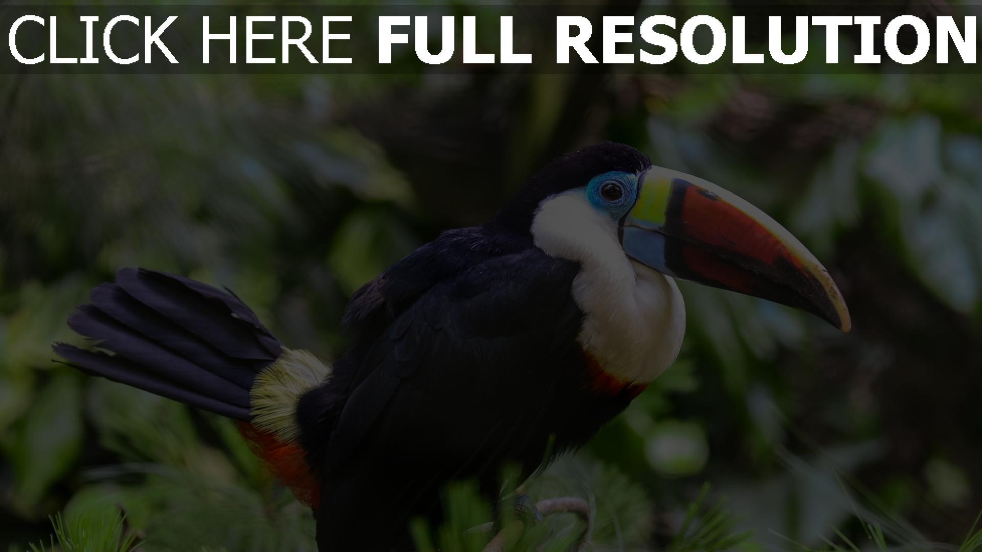 hd hintergrundbilder federn vogel schnabel toucan dickichte 1920x1080