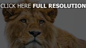 ansicht junge raub löwe schnauze