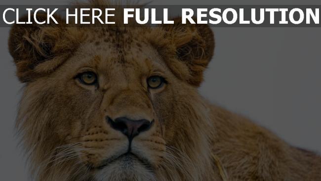 hd hintergrundbilder ansicht junge raub löwe schnauze