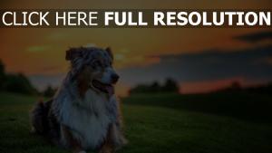 hund schäfer australisch gras sonnenuntergang