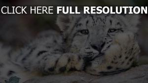 katze leopard groß schnee schneeleopard