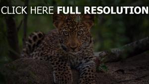 groß raub schnauze leopard katze