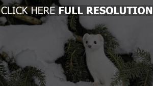 tier schnee zweig hermelin winter