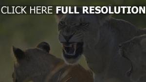 wut eine löwin die zähne löwe aggression räuber