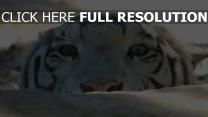 augen gesicht stein tiger raub