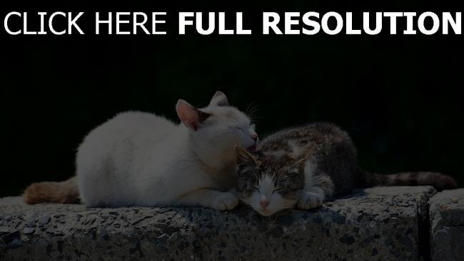 hd hintergrundbilder pflege paar zuneigung katzen frühling