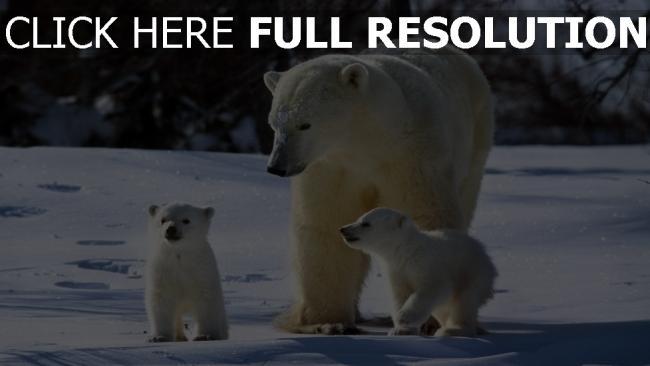 hd hintergrundbilder familie bären schnee weiß spaziergang