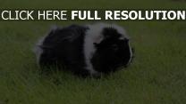 spaziergang schwein gras das meer nagetier