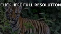 laub baby raubtier tiger