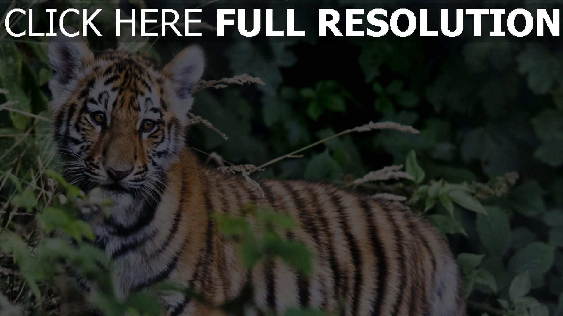 hd hintergrundbilder laub baby raubtier tiger 1920x1080