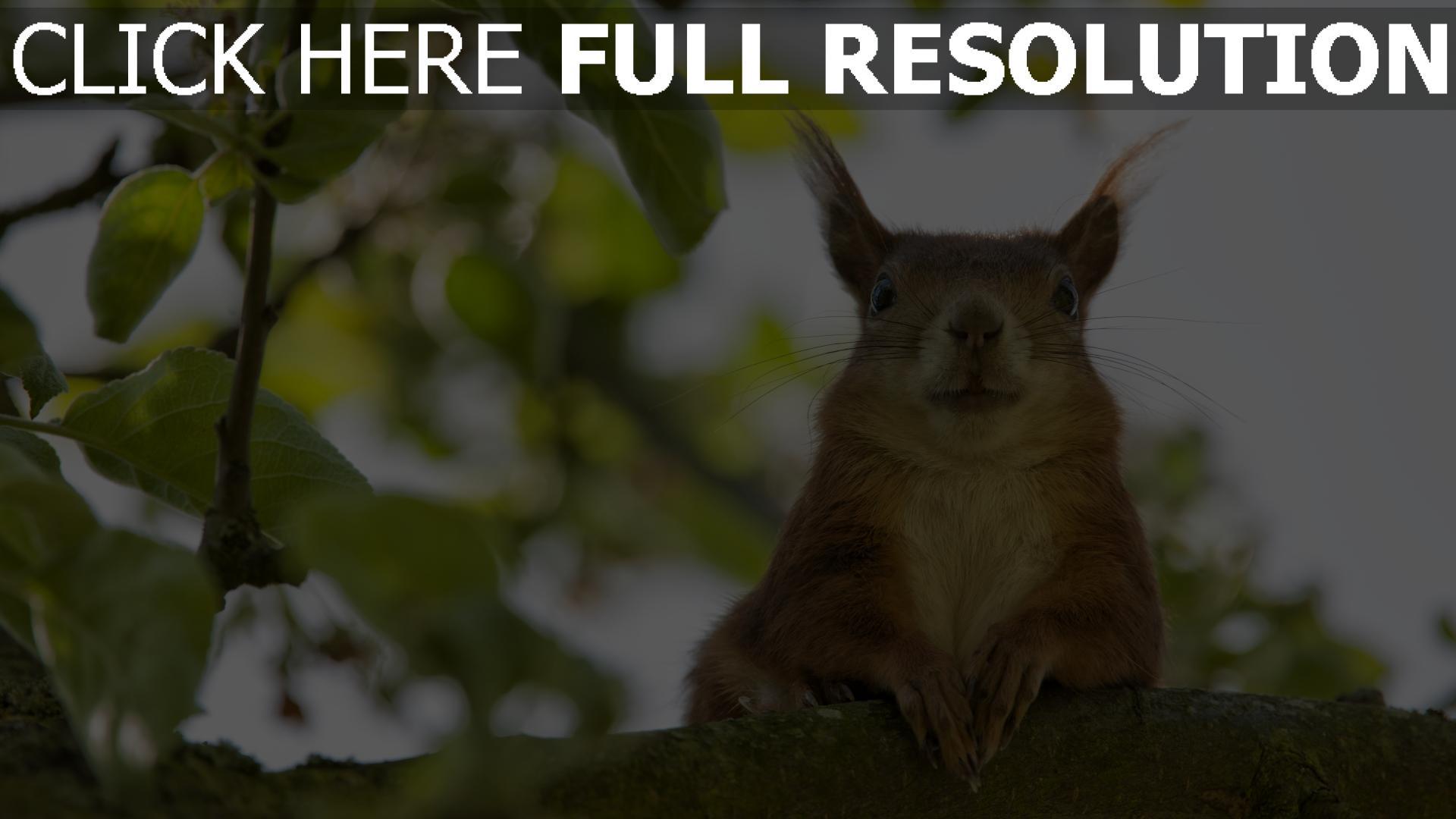 HD Hintergrundbilder lustig gesicht sitzen eichhörnchen, desktop ...