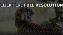 lecken raub zurück tiger