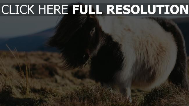 hd hintergrundbilder pferd langhaarigen pony