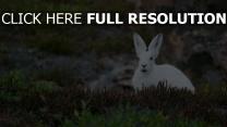 polar kaninchen hase schneehase