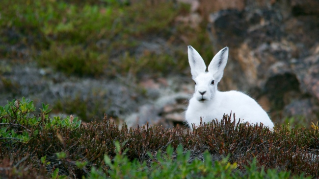 hd hintergrundbilder polar kaninchen hase schneehase
