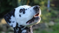 gefleckter hund maulkorb dalmatiner