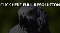 vogel schnabel afrikanische papagei