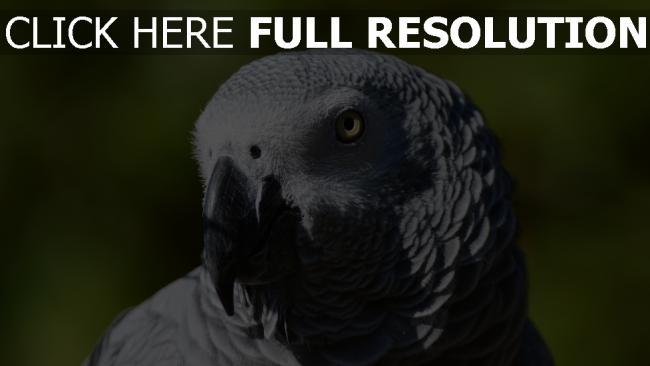 hd hintergrundbilder vogel schnabel afrikanische papagei