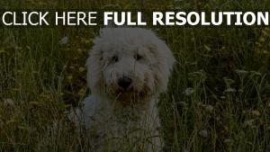 hund gras goldendudl