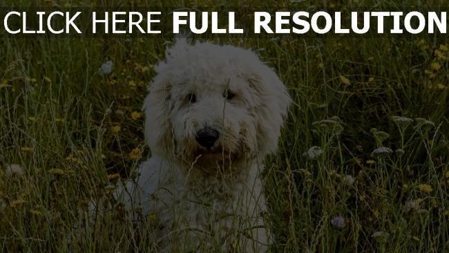 hd hintergrundbilder hund gras goldendudl