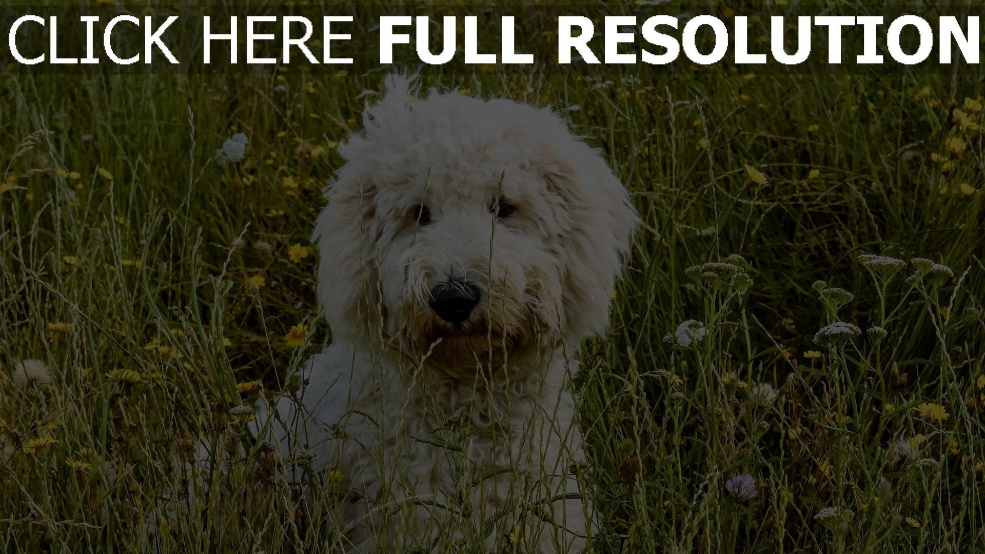 hd hintergrundbilder hund gras goldendudl 1920x1080