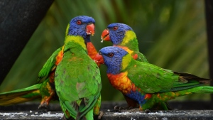 vogel lorikeet papageien mehrfarbig