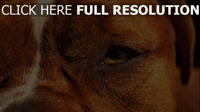 hd hintergrundbilder nah gesicht augen hund plan