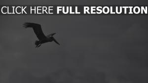 wolke vogel fliegen pelikan