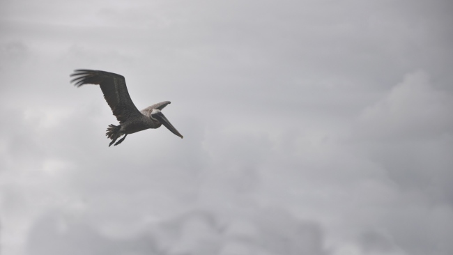 hd hintergrundbilder wolke vogel fliegen pelikan
